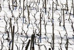 Winter vineyards royalty free stock photo