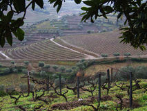 Winter vineyards landscape. Douro vineyards scene with olive trees, in winter Royalty Free Stock Images