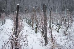 Winter vineyards Royalty Free Stock Image