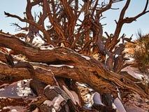Winter-Wüsten-Holz Stockbilder