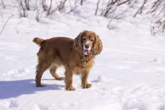 Winter walk with Cocker Spaniel. Dog lying in the snow royalty free stock images