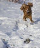 Winter walk with Cocker Spaniel. Dog runs through the snow stock photography