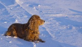 Winter walk with Cocker Spaniel. Dog lying in the snow stock photos