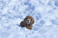 Winter walk with Cocker Spaniel. Dog lying in the snow stock photography