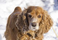 Winter walk with Cocker Spaniel. Dog lying in the snow stock image