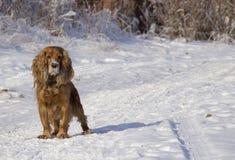 Winter walk with Cocker Spaniel. Dog runs through the snow royalty free stock image