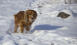 Winter walk with Cocker Spaniel. Dog runs through the snow royalty free stock images