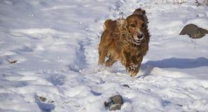 Winter walk with Cocker Spaniel. Dog runs through the snow stock image