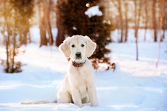Winter walk of golden retriever puppy Stock Images