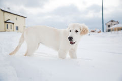 Winter walk of golden retriever puppy Stock Photos