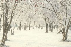 Winter walk through the snow-covered city park between. Bright rowan trees with clusters of red berries - a beautiful winter city landscape. Public Park after Stock Image