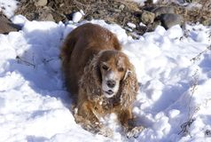 Winter walk with Spaniel royalty free stock images
