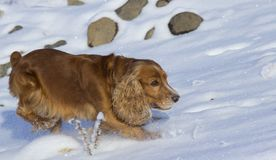 Winter walk with Spaniel. royalty free stock image