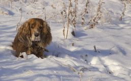 Winter walk with  Spaniel royalty free stock image