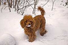 Winter. Walking red miniature poodle Royalty Free Stock Photo