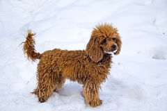Winter. Walking red miniature poodle Stock Photos