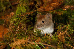 Winter warmer. Field vole emerges from his winter burrow Royalty Free Stock Image