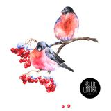Winter Watercolor Background with Bullfinches Stock Images