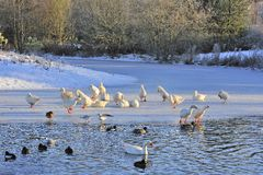 Winter waterside birds Stock Image