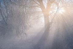 Winter weather phenomenon. Heavily full of wet air condenses on the surface of ice crystals. Morning sun rays shining through the branches of trees. In the stock images