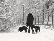 Winter weather, snowstorm, city, woman with dogs. Winter weather. Snowstorm in the city. A woman is walking with dogs through snowdrifts. Snow on branches of royalty free stock photo