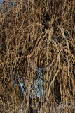 Winter weeping willow. Close up of old winter weeping willow tree branches stock image