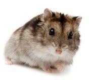 Winter-weißer russischer zwergartiger Hamster Stockfotografie