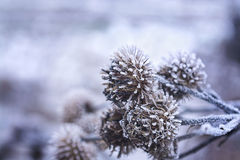 Winter-Weihnachtskiefernkegel im Frost, selektiver Fokus Stockfoto