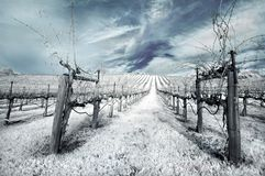 Winter-Weinberg im Infrarot stockbild