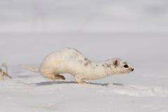 Winter wenig Wiesel, der in den Schnee läuft Stockfotografie