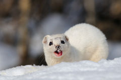 Winter wenig Wieselessen Lizenzfreie Stockfotografie