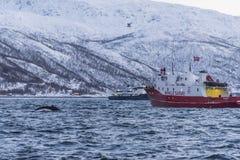 Winter Whale safari Tromsø. Winter Whale safari. Humpback whale Latin: Megaptera novaeangliae swims close to two safari vessels in Kvaløysund off Troms Royalty Free Stock Photos