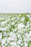 Winter wheat Royalty Free Stock Image