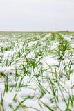Winter wheat royalty free stock image