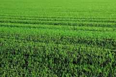 Winter wheat. Green sprouts and foliage of winter wheat Royalty Free Stock Image