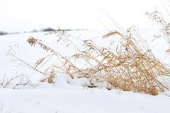 Winter Wheat Royalty Free Stock Photography