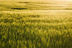Winter Wheat Royalty Free Stock Photos