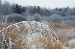 Winter wheat Royalty Free Stock Images