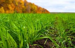 Winter wheat Royalty Free Stock Photos
