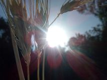 Winter Wheat stock photo