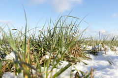 Winter wheat, close-up Royalty Free Stock Photo
