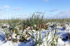 Winter wheat, close-up Stock Photos