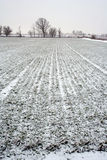Winter Wheat Field. Wheat field and trees after snow Stock Images