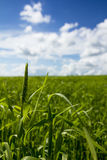 Winter wheat field. Agriculture - maturing winter wheat crop. Mature winter wheat under blue sky with clouds Royalty Free Stock Photo