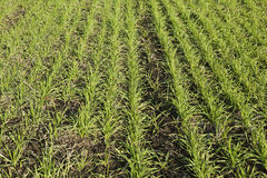 Winter wheat Stock Image