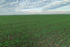 Winter wheat seedlings and blue sky. Young wheat in field royalty free stock photography