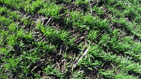 Winter wheat spring stock video footage