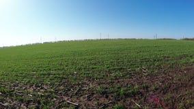 Winter wheat spring stock video