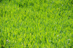Winter wheat on a spring field Stock Images