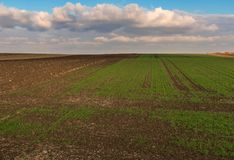 Winter wheat sprout field royalty free stock images